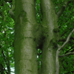 beechwood-tree